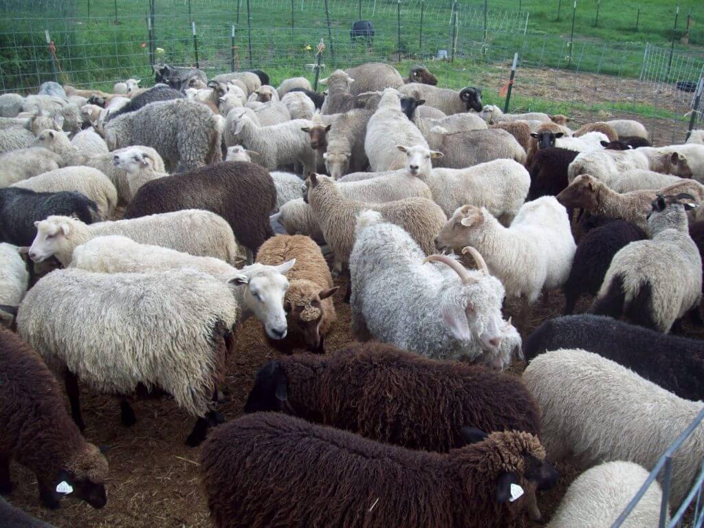 Matthew 25:33's Sheep and Goats from Matthew 25:31-46 KJV